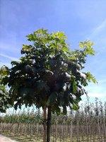 bomenweb - Bomen kopen